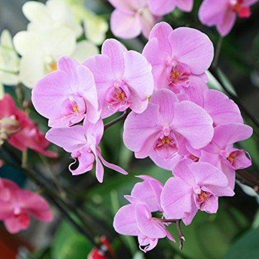 Orquídea Natural - Phalaenopsis - Maceta 12cm. - Altura aprox. 60cm. -