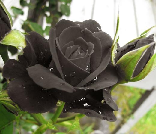 Rosa Negra de Halfeti, Turquia