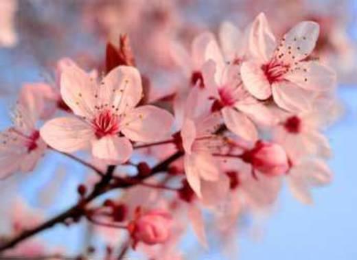 Flor de Sakura/Cerejeira