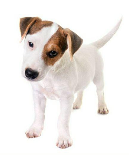 Raça Jack russell terrier