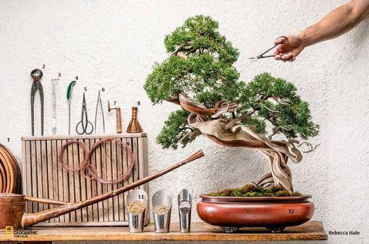 Semillas exóticas de Bonsai con alta tasa de germinación - Juego de
